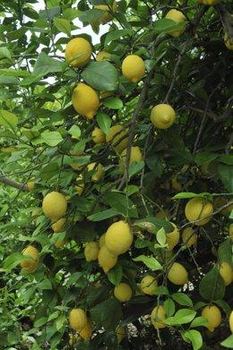 Clones de limón Verna