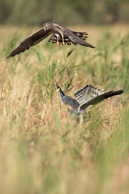Una pareja de aguilucho cenizo en un nido en un campo de cereal.
