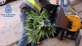 Desmantelada una red de tráfico de drogas con 39 detenidos y 2.319 plantas de marihuana incautadas