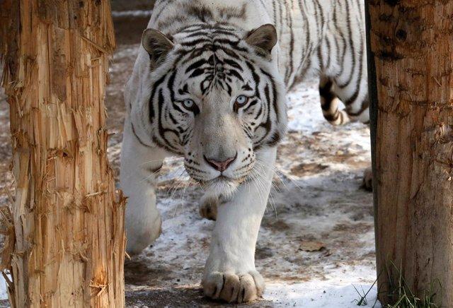 Un tigre de albino
