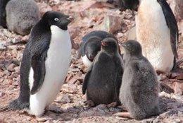 Pingüinos de Adélia