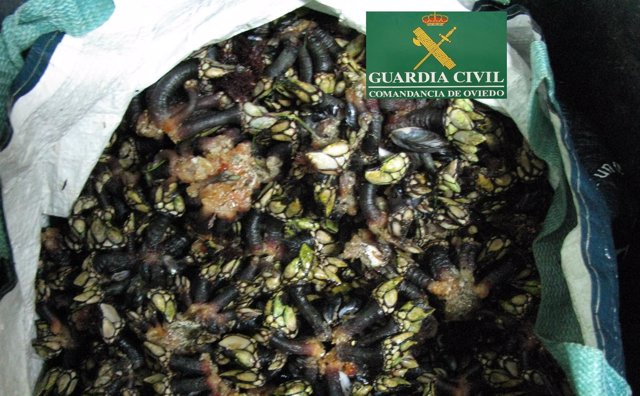 Percebes intervenidos por la Guardia civil.