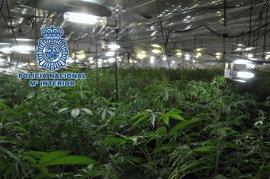 Detenido un joven tras intervenirle más de 650 plantas de marihuana en Lucena (Córdoba)