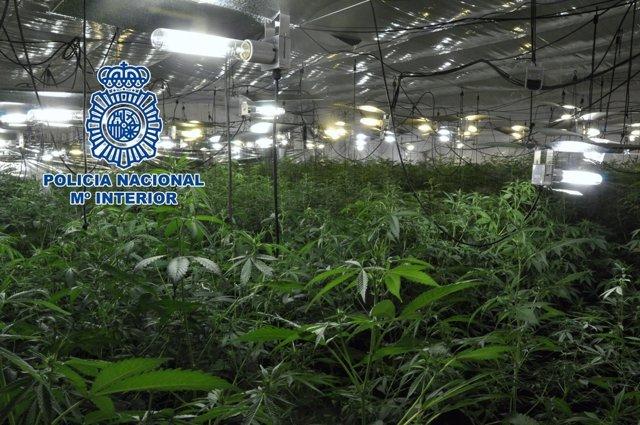 La Policía Nacional Incauta En Lucena (Córdoba) Más De 650 Plantas De Marihuana,