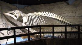 El Acuario de Sevilla expone por primera vez un esqueleto de ballena de casi siete metros