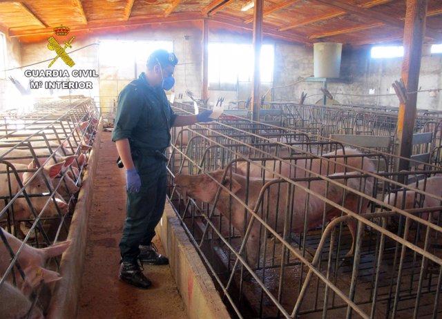 Detenido el propietario de una granja de Calasparra por abandono de cerdos
