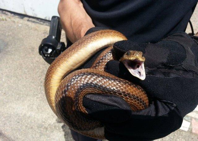 Serpiente recuperada en Vigo.