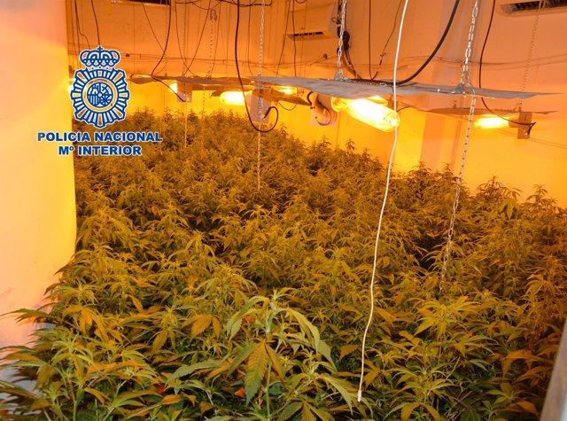 Descubren 500 plantas de marihuana en un chalet ubicado en una urbanización