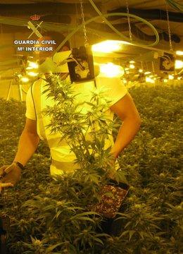 La Guardia Civil Desmantela Un Invernadero Clandestino Con Cerca De 2.000 Planta