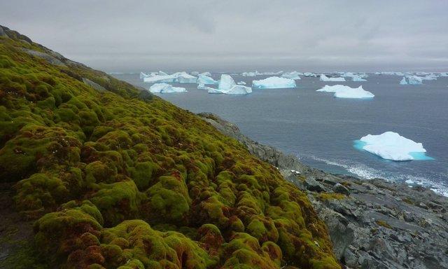 Bancos de musgo entre icebergs en la Antártida