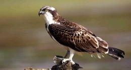 Foto de un águila pescadora