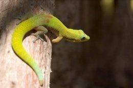 Gecko, reptil doméstico, mascota, bicho, animal