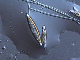Hay bacterias que degradan compuestos orgánicos que favorecen la fertilización de sedimentos marinos