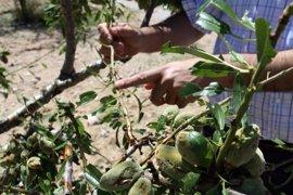 La tormenta de granizo deja importantes daños en unas 6.000 hectáreas de cultivos de Caravaca