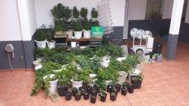 Detienen a un vecino de Icod de los Vinos por el cultivo de 158 plantas de marihuana