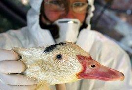 Zimbabue sacrifica 140.000 aves para intentar evitar la expansión de un brote de gripe aviar