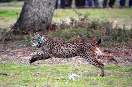 """WWF urge a la Junta a restaurar una zona de cría de linces """"devastada"""" por el Plan Romero"""