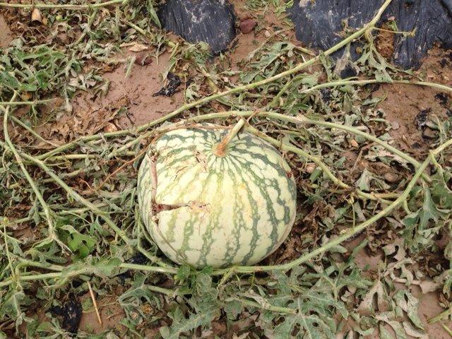 Calabaza afectada por el granizo