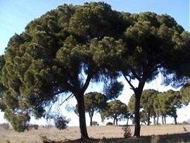 """Un equipo multidisciplinar con presencia de la UEx muestra que el polen de pino es """"buen"""" indicador del cambio climático"""