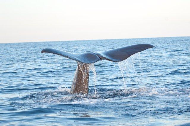 Cola de ballena en el Mediterráneo ( Balaenoptera physalus)