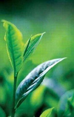 Planta del té verde