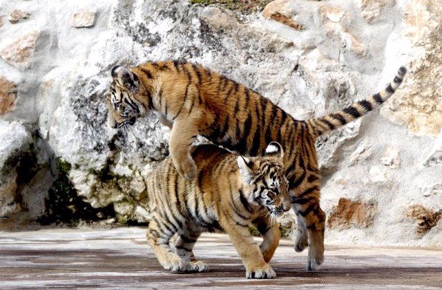 Los dos tigres de Bengala