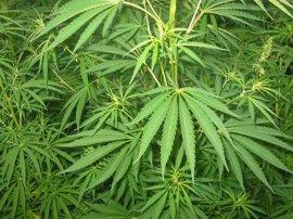 Podemos no logra el respaldo del parlamento para regular el consumo de cannabis