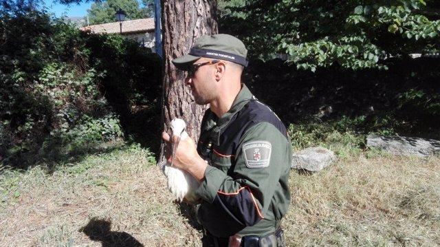 Recogen a dos pollos de cigüeña en Alameda del Valle