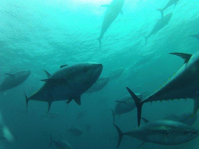 Piscina de engorde de atún rojo