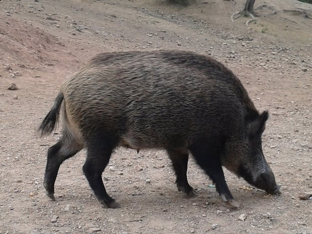 Jabalí