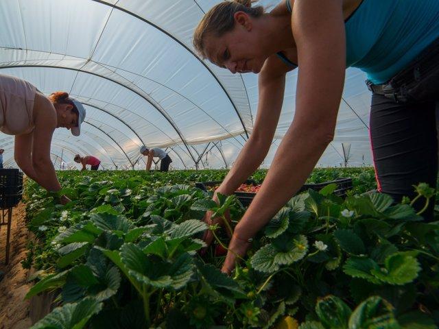 Trabajadoras de Grufesa en una plantación fresera.