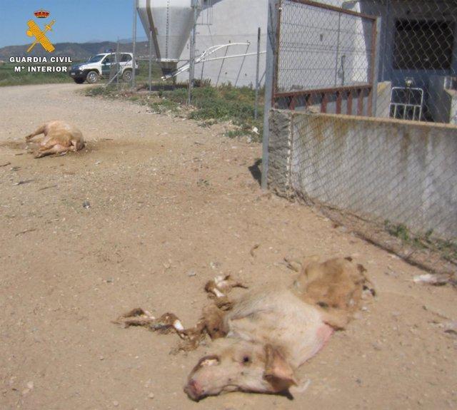 Infracciones normativas en explotaciones ganaderas porcinas de Huesca