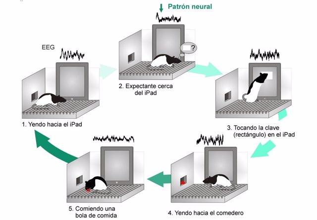 El proceso de activación de una pantalla táctil que ha realizado la rata