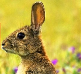 Cazadores piden al Gobierno medidas para impedir que llegue a España un virus liberado en Australia contra el conejo