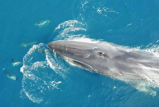 Ballena y delfines en el litoral catalán