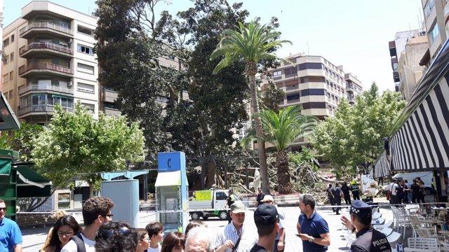 Ficus Santo Domingo cae