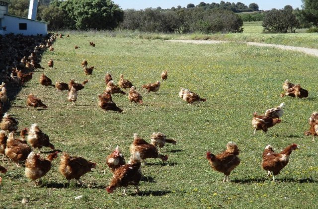 Huevos Guillén producirá el 100% en sistemas libres de jaula en 2025