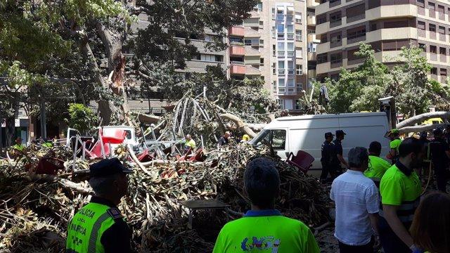 Imagen del ficus de Santo Domingo, derribado