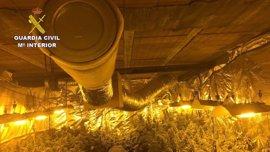 Incautadas 413 plantas de marihuana y detenidas tres personas en Yebes