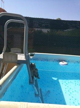 Búho en la piscina de un particular en Villarejo de Salvanés