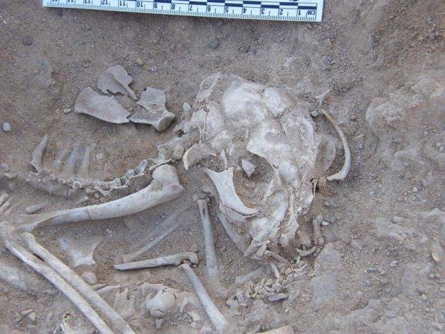 Restos de un gato de hace 6.000 años enterrado en Hierakonpolis