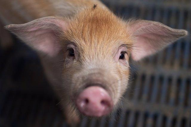 Cerdo mata a su dueño en México