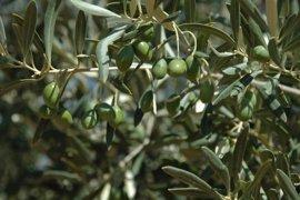 """Cooperativas augura una """"buena campaña"""" de aceita de oliva en C-LM pero estima un descenso del 10% en producción"""