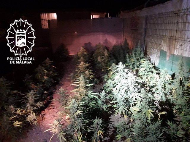Plantación marihuana málaga policía local maqueda campanillas droga
