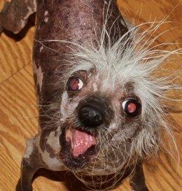 Concurso de los perros más feos del mundo