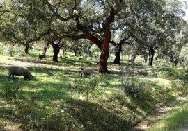 PSOE, PP y Cs en Extremadura piden al Gobierno la equiparación de la dehesa a los cultivos permanentes para la PAC