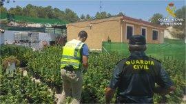 Seis detenidos por cultivar más de 2.200 plantas de marihuana en una finca de El Campello