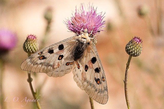 Mariposa Parnassius apollo ssp.