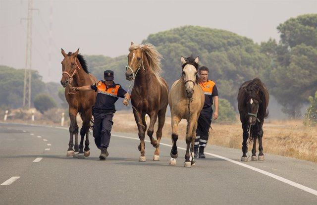 Caballos rescatados del incendio junto a Doñana