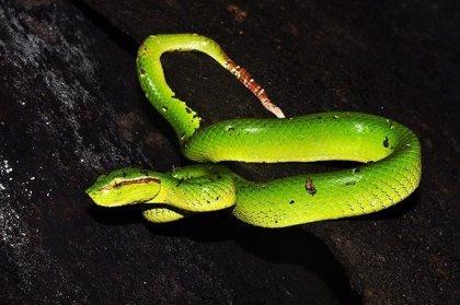 El veneno de serpiente podría proporcionar un fármaco antiplaquetario más seguro